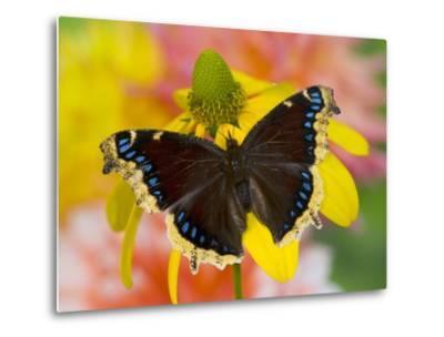 Morning Cloak North American Butterfly-Darrell Gulin-Metal Print