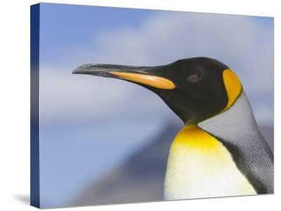 King Penguin-John Eastcott & Yva Momatiuk-Stretched Canvas Print