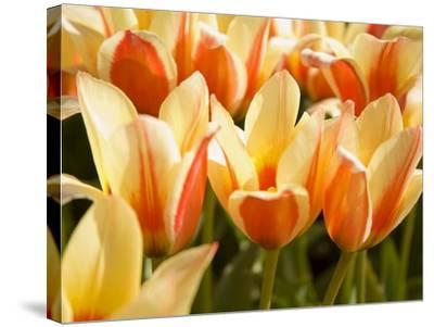 Tulips-Craig Tuttle-Stretched Canvas Print