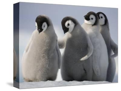 Emperor Penguins in Antarctica-Paul Souders-Stretched Canvas Print