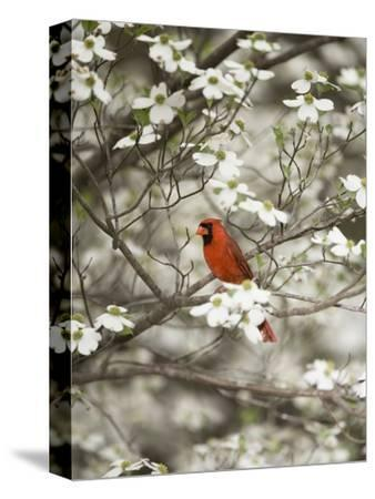 Close-up of Cardinal in Blooming Tree-Gary Carter-Stretched Canvas Print