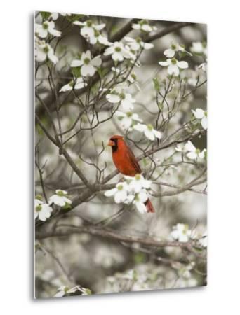 Close-up of Cardinal in Blooming Tree-Gary Carter-Metal Print