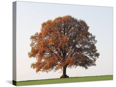 Oak Tree in Autumn-Frank Lukasseck-Stretched Canvas Print