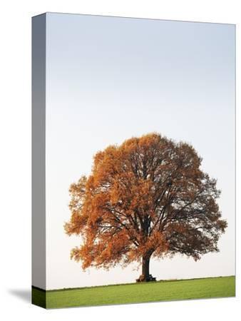 Oak Tree in Meadow-Frank Lukasseck-Stretched Canvas Print
