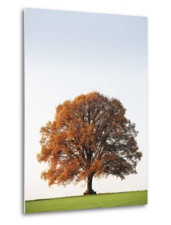 Oak Tree in Meadow-Frank Lukasseck-Metal Print
