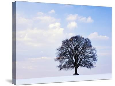 Oak Tree in Winter-Frank Lukasseck-Stretched Canvas Print