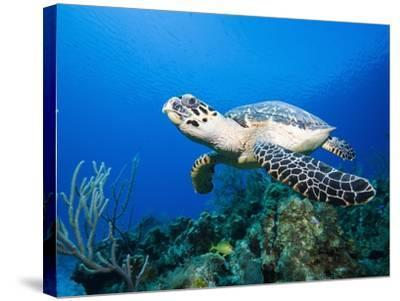 Hawksbill Turtle Swimming above Reef-Paul Souders-Stretched Canvas Print