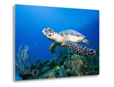 Hawksbill Turtle Swimming above Reef-Paul Souders-Metal Print