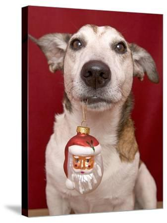 Jack Russell Terrier Holding Christmas Ornament-Ursula Klawitter-Stretched Canvas Print