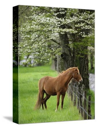 Horse Standing by Fence-William Manning-Stretched Canvas Print