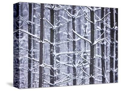 Snow-covered Trees in Forest-Jim Craigmyle-Stretched Canvas Print