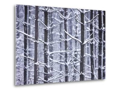 Snow-covered Trees in Forest-Jim Craigmyle-Metal Print