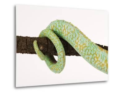 Veiled Chameleon Tail Wrapped Around Twig-Martin Harvey-Metal Print