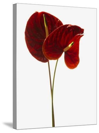 Anthurium--Stretched Canvas Print