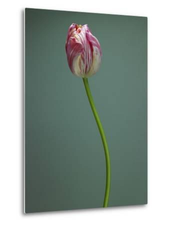 Pink and white tulip--Metal Print