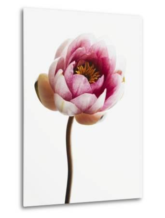 Water lily--Metal Print