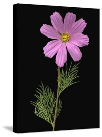 African Daisy--Stretched Canvas Print