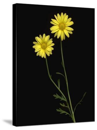 Paris daisies--Stretched Canvas Print