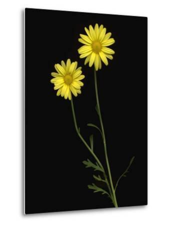 Paris daisies--Metal Print