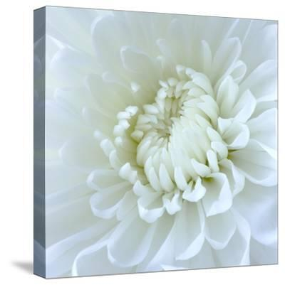 Close-up of White Flower-Clive Nichols-Stretched Canvas Print