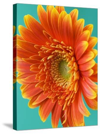Orange Gerbera Daisy-Clive Nichols-Stretched Canvas Print