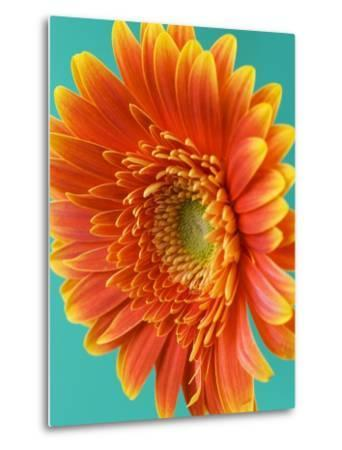 Orange Gerbera Daisy-Clive Nichols-Metal Print