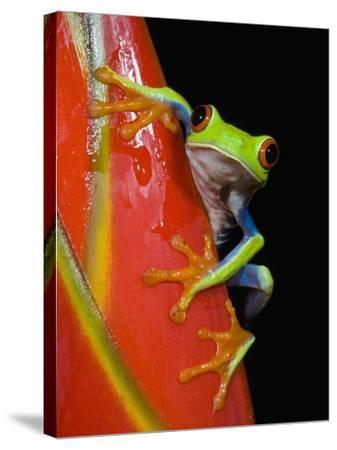 Red-eyed Tree Frog-Kevin Schafer-Stretched Canvas Print