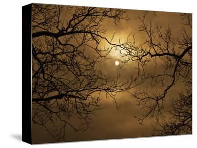 Branches Surrounding Harvest Moon-Robert Llewellyn-Stretched Canvas Print