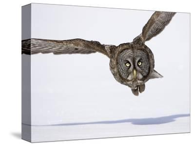 Great Gray Owl Hunting Over Snow-Joe McDonald-Stretched Canvas Print