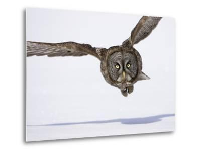 Great Gray Owl Hunting Over Snow-Joe McDonald-Metal Print