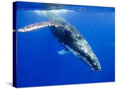 Humpback Whale Underwater-Paul Souders-Stretched Canvas Print