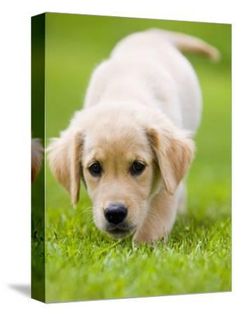 Golden Retriever Puppy Playing Outdoors-Jim Craigmyle-Stretched Canvas Print