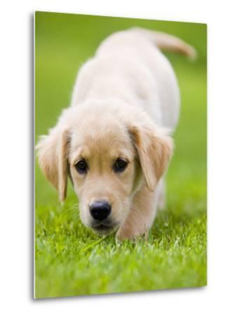Golden Retriever Puppy Playing Outdoors-Jim Craigmyle-Metal Print