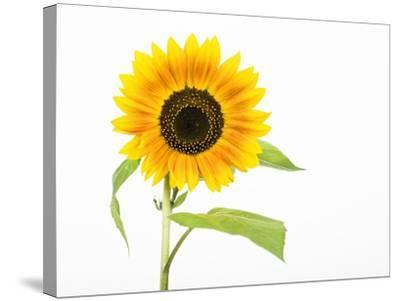 Sunflower-Frank Lukasseck-Stretched Canvas Print