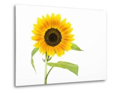 Sunflower-Frank Lukasseck-Metal Print