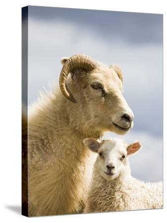 Adult Icelandic Sheep with Lamb-Frank Lukasseck-Stretched Canvas Print