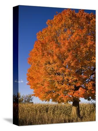 Maple Tree Beside Cornfield-Jim Craigmyle-Stretched Canvas Print