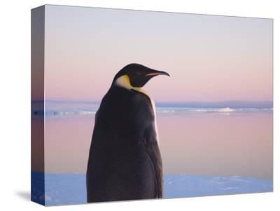 Emperor Penguin on Pack Ice-Keren Su-Stretched Canvas Print