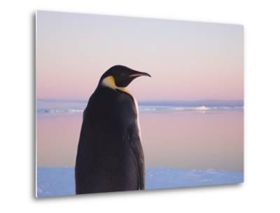 Emperor Penguin on Pack Ice-Keren Su-Metal Print