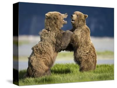Grizzly Bears Sparring at Hallo Bay in Katmai National Park-Paul Souders-Stretched Canvas Print