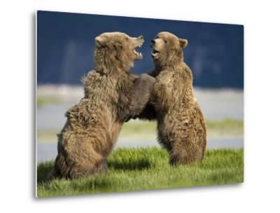Grizzly Bears Sparring at Hallo Bay in Katmai National Park-Paul Souders-Metal Print