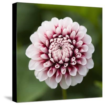 Pink Dahlia Tip Toe-Clive Nichols-Stretched Canvas Print