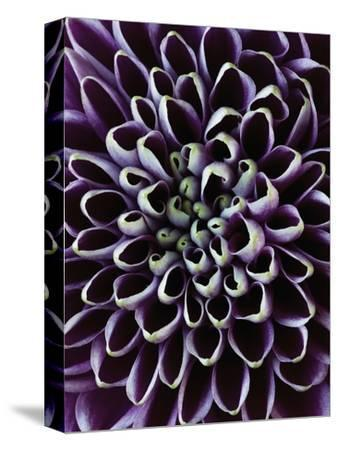 Close-up of Chrysanthemum Flower-Clive Nichols-Stretched Canvas Print