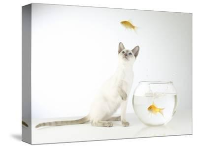 Siamese kitten with jumping goldfish-Steve Lupton-Stretched Canvas Print