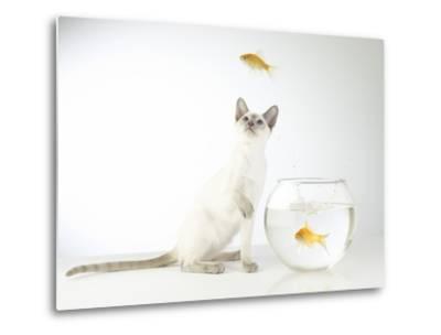 Siamese kitten with jumping goldfish-Steve Lupton-Metal Print