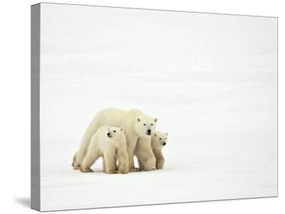 Mother and Cubs Walking-John Conrad-Stretched Canvas Print