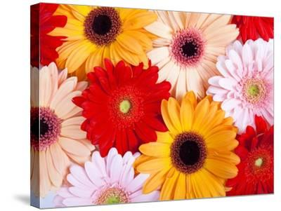 Gerbera daisies-Frank Lukasseck-Stretched Canvas Print