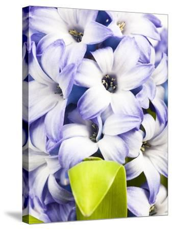 Purple hyacinth-Frank Lukasseck-Stretched Canvas Print