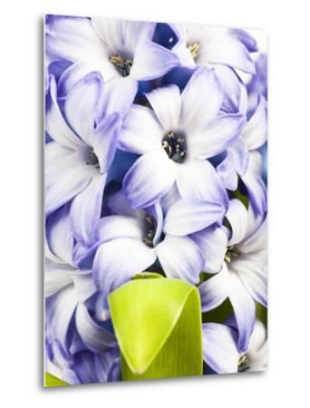 Purple hyacinth-Frank Lukasseck-Metal Print