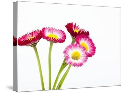 Daisy flowers-Frank Lukasseck-Stretched Canvas Print
